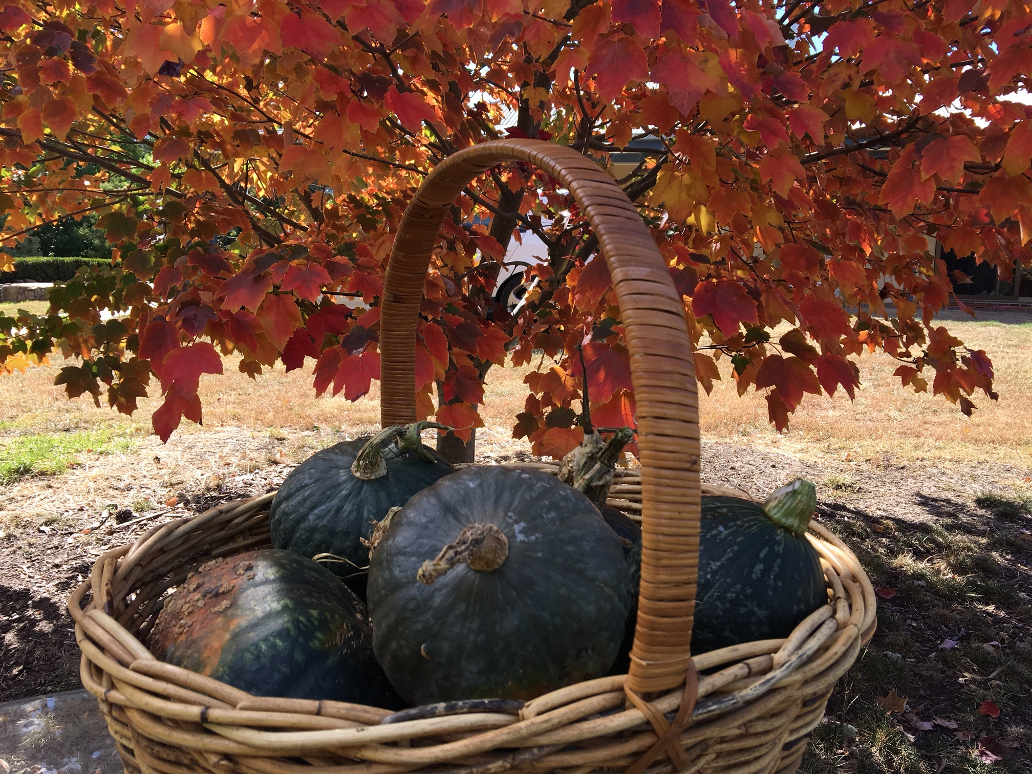 Autumn harvest of pumpkins in a cane basket.