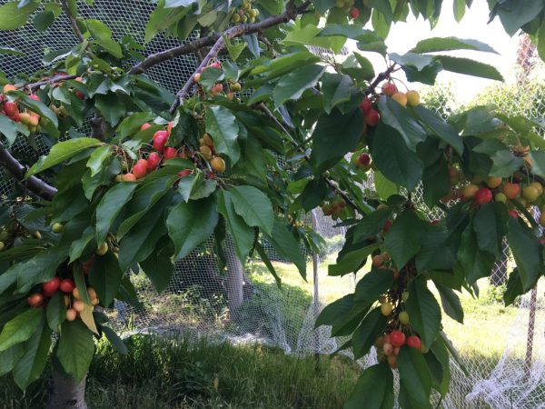 Cherry tree laden with cherries
