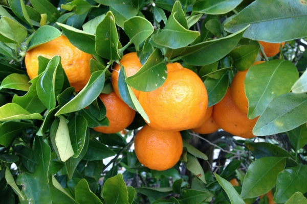 Mandarin tree laden with fruit