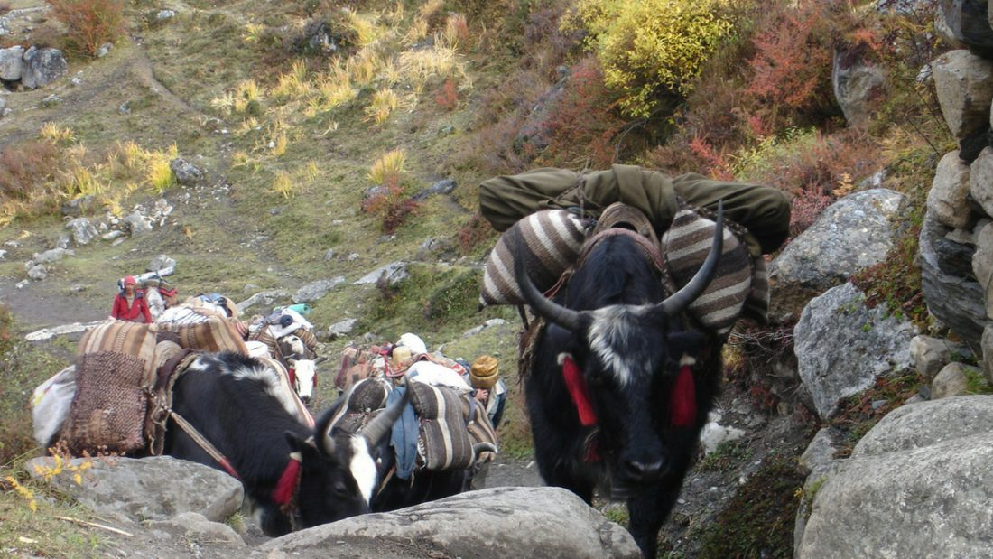 Tibetan yak team on the path