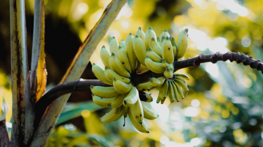 Lady bananas growing on the tree