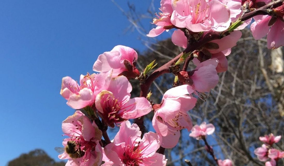 Bee on pink nectarine tree blossom